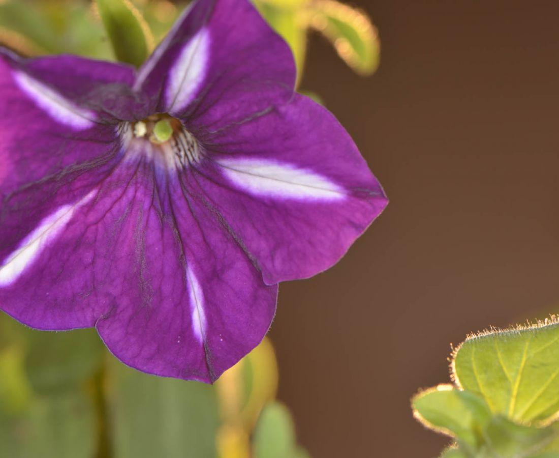 صور منوعة – ألبوم صور  : زهرة البيتونيا